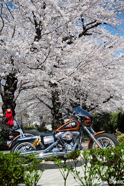 Under Cherry Blossoms